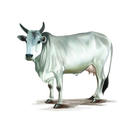 teats: White Cow Stock Photo