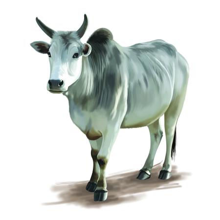 teats: Ox