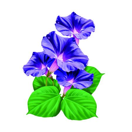 blue petals: Morning glory flower Stock Photo