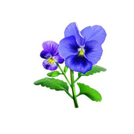 pistil: Pansy Flower Stock Photo