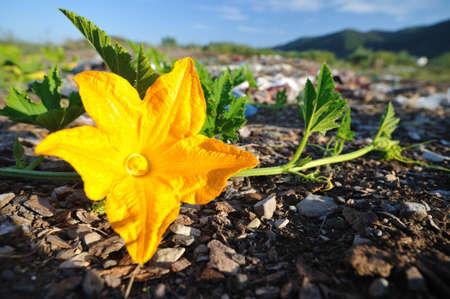 Pumpkin yellow flower. Pumpkin flower closeup on the field.