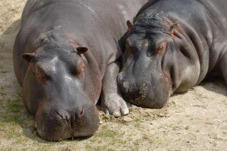 malevolent: Hippos in love cuddle up