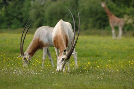 savana: Oryx grazing on savana oasis