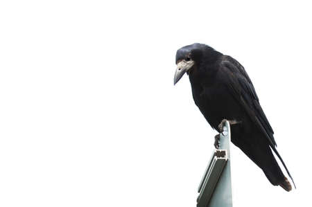 flier: Isolated Crow on white background