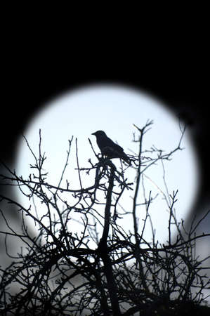 Nighttime Crow photo