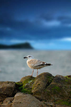 Seagull and storm