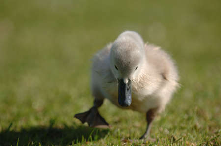 signet: Young Signet Swan on the move Stock Photo
