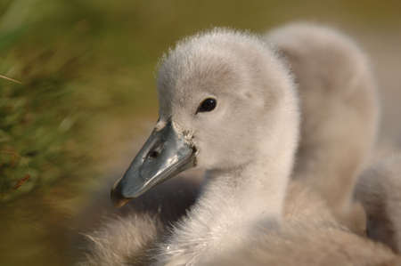 signet: Signet Swan j�venes de anidaci�n en el c�sped