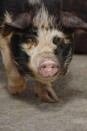 Piggy Stock Photo - 3692703
