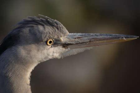 birdwatching: Heron in closeup