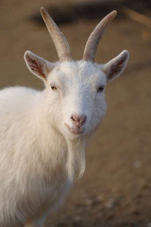 billy: Billy Goat