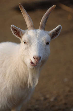 billy: Funny Expression Billy Goat