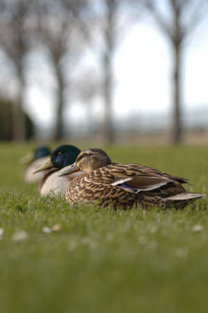 drakes: Mallards and drakes resting midday