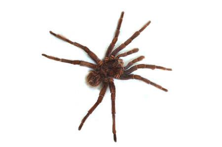 arachnoid: Tarantula on white