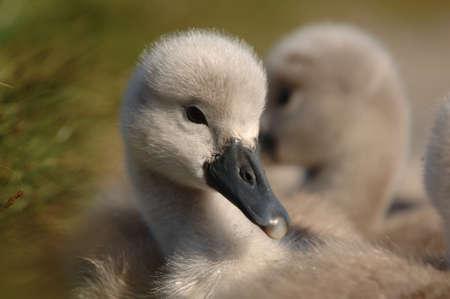 signet: Young Signet Swan anidando en la hierba  Foto de archivo