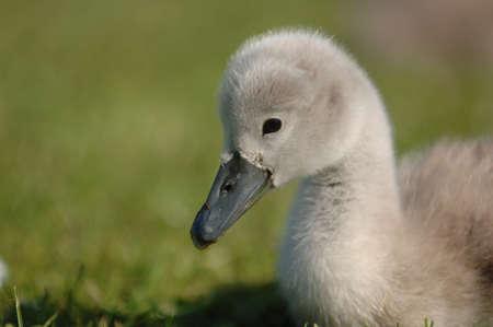 signet: Young Signet cisnes anidando en la hierba