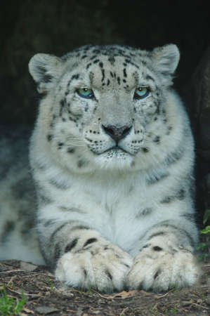 sported: Snow Leopard Stock Photo