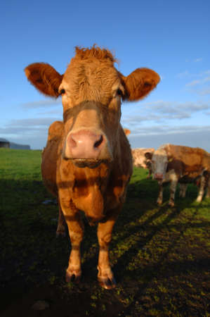 Dairy Cow photo