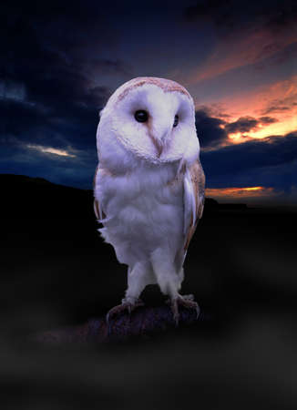 living things: One of the cutest Barn Owls we have Stock Photo
