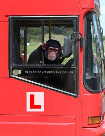 absurd: Chimpanzee driving a bus Stock Photo