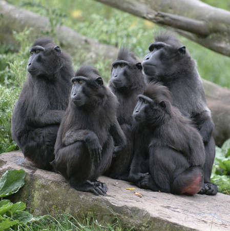 clowning: Macaques all staring in the one direction