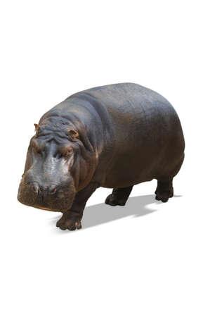 molares: Rhino aislado en blanco  Foto de archivo