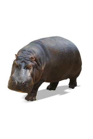 molars: Rhino aislado en blanco  Foto de archivo