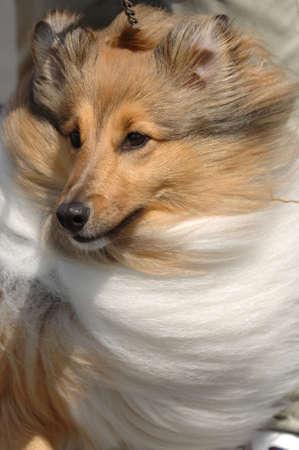 lassie: Shetland Sheepdog goes walkies