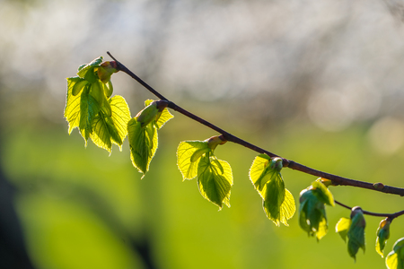 Branch of linden tree, tilia cordata, with spring leaves