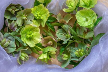 Hellebores flowers blossoms after flowering. Close up. Top view.