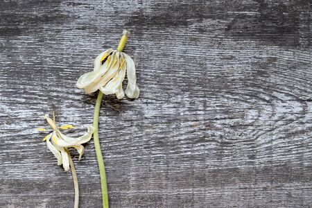 Two amazing yellowed withered tulips next to each other on the background of an old white painted abraded wooden board. The concept of old age beauty and coexistence. Top view, close up, copy space