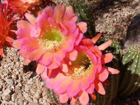 platillo volador: Flying Saucer Cactus flores