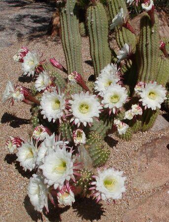 Argentine Giant cactus blossoms last only 24 hours! Reklamní fotografie