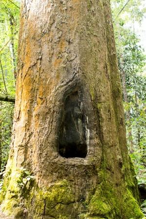 Ancient trees  photo