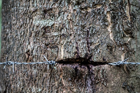 Tree with barbed wire sunk into the surface  photo