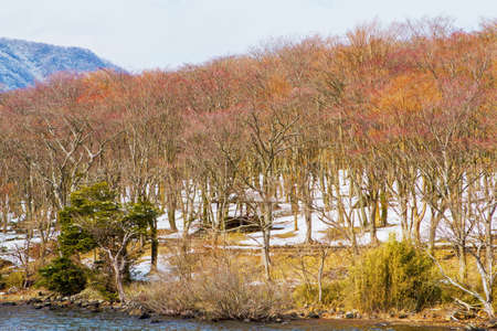 Trees along the Lake Ashi at Japan   Deciduous trees in winter  photo