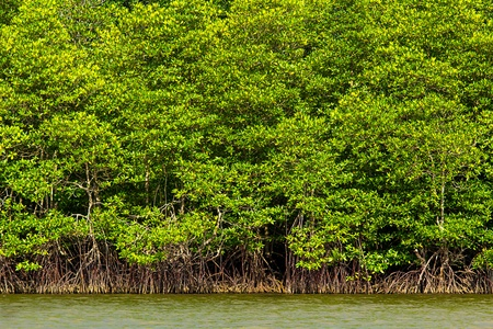 Mangrove tree at sea coast photo