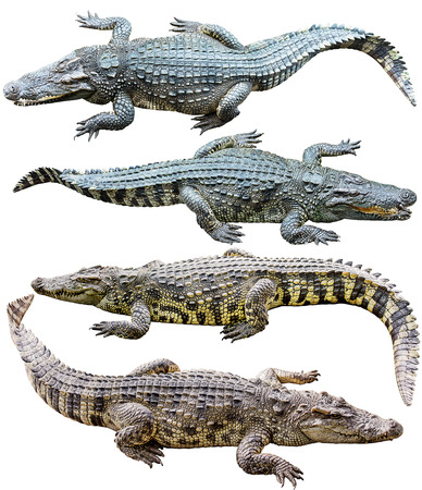Collection of freshwater crocodile isolated on white  Banco de Imagens