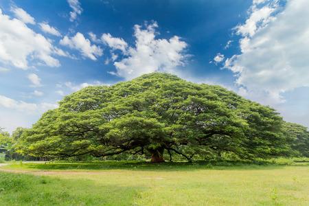 The largest monkey pod tree on the blue sky   Stock Photo