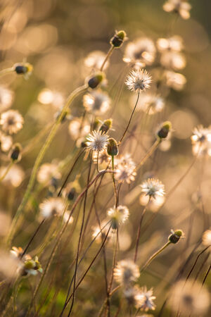 Composition with wild grass in bright sunset counter light. The field of mexican daisy photo