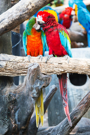 teasing: Pair of colorful Macaws parrots.They were teasing each other. Stock Photo