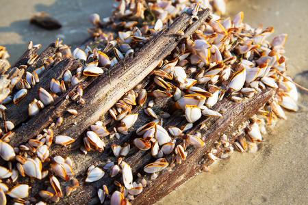 Closeup of goose barnacle on a timber. photo