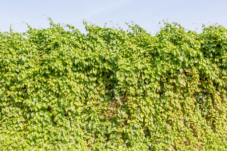 Forming ivy together as a natural wall. Green hedge bush fence on blue background.