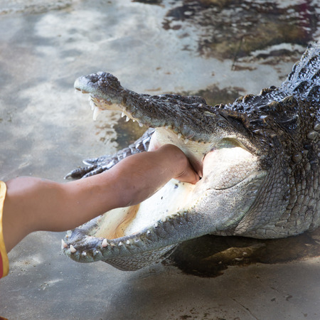 Hand into the crocodiles neck. The crocodile is opening his mouth to let people reach.