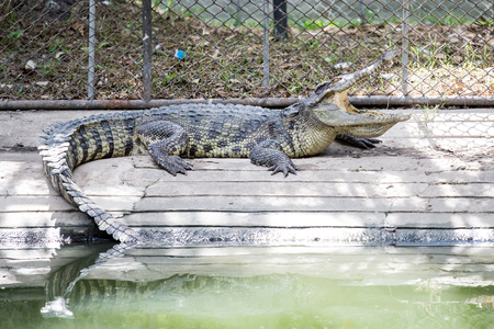Crocodile sunbathing in the zoo.Freshwater crocodiles are lying at the edge of the pond. 写真素材