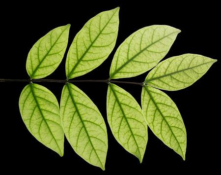 Closeup leaves see the vitreous tube. on black. Mok leaves, close-up