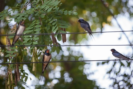 Swallows sitting on wires