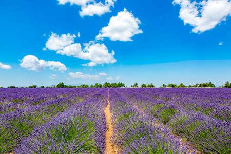 mauve: Lavender field in Provence