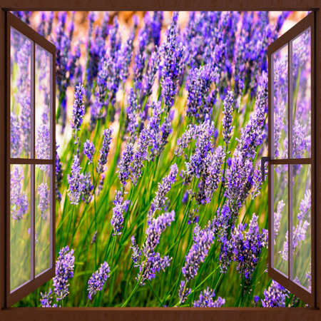 Looking out the window at the lavender field
