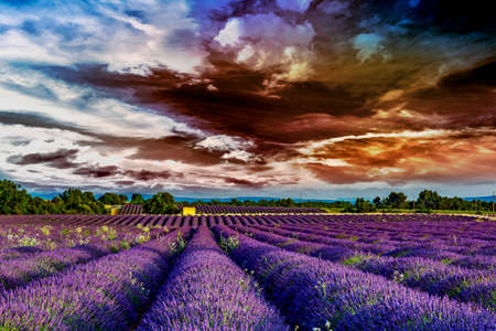Blooming lavender field  Stock Photo
